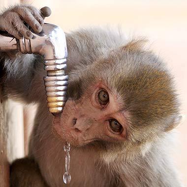 O verão indiano é tão forte que até os macacos se refrescam nas torneiras...